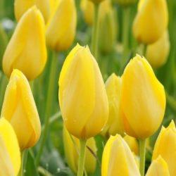 Tulpen voor Tibet